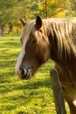 在篱芭后的Haflinger马 免版税库存图片
