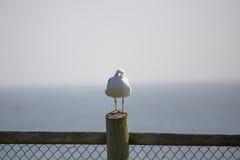 在篱芭岗位的海鸥 免版税库存图片