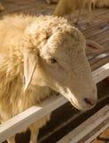 在篱芭日落光的顶头绵羊 免版税库存图片