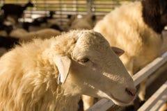 在篱芭日落光的顶头绵羊 库存图片