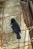 在篱芭栖息的红被喝酒的黑鹂 库存图片