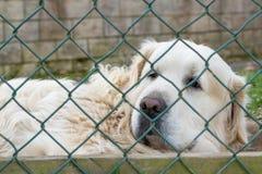 在篱芭滤网后的白色Maremmo阿布鲁佐护羊狗 免版税库存图片