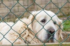 在篱芭滤网后的白色Maremmo阿布鲁佐护羊狗 免版税库存照片