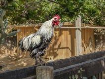 在篱芭的一只雄鸡 图库摄影