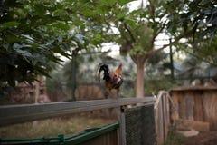 在篱芭的一只雄鸡 免版税库存图片