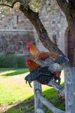 在篱芭的三只雄鸡 库存图片