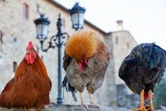 在篱芭的三只雄鸡 免版税库存照片