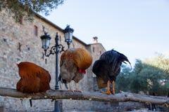 在篱芭的三只雄鸡 图库摄影