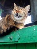 在篱芭的三色美好的猫咆哮声,设置了她的牙 免版税库存图片