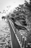 在篱芭的乌鸦 库存照片