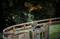 在篱芭的乌鸦 免版税图库摄影