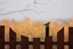 在篱芭的伟大的山雀朝右边看 免版税图库摄影