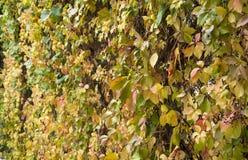 在篱芭的叶子在秋天 免版税库存图片