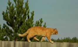 在篱芭的姜猫 库存照片