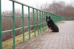 在篱芭的孤独的狗 库存照片