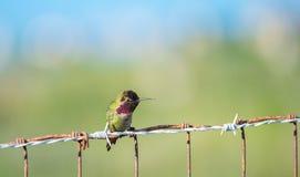 在篱芭的安娜的蜂鸟 免版税库存图片