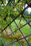 在篱芭的常春藤 库存图片