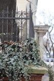 在篱芭的常春藤 免版税库存图片