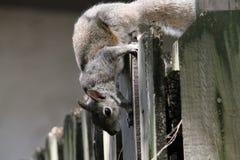 在篱芭的恶作剧灰鼠 库存照片