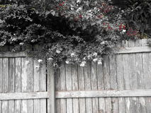在篱芭的树 免版税图库摄影