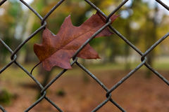 在篱芭的橡木叶子 库存照片