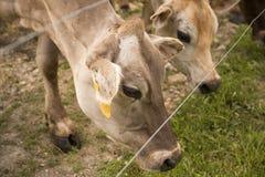 在篱芭的母牛 库存照片
