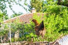 在篱芭的母鸡在仓前空地 免版税库存图片