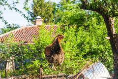 在篱芭的母鸡在仓前空地 库存照片