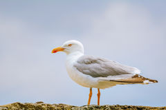 在篱芭的海鸥 库存照片