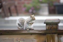 在篱芭的灰色Squrrel 免版税库存照片