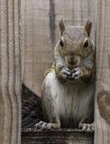 在篱芭的灰鼠吃花生的 图库摄影