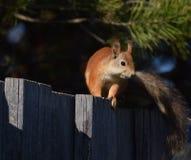 在篱芭的灰鼠 库存图片