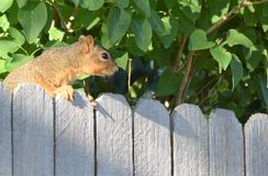 在篱芭的灰鼠 免版税库存图片