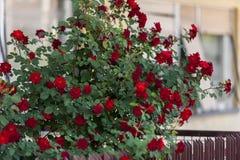 在篱芭的玫瑰 库存照片