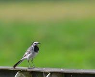 在篱芭的白色令科之鸟 库存照片