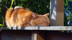 在篱芭的睡觉红色猫 图库摄影