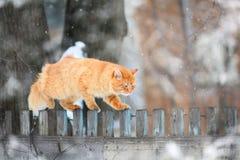 在篱芭的红色猫 免版税库存图片