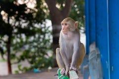 在篱芭的罗猴短尾猿猴子选址 库存照片