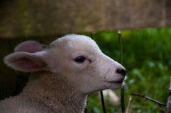 在篱芭的羊羔 免版税库存图片