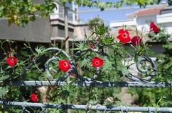 在篱芭的美丽的花 库存图片