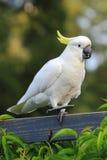 在篱芭的美冠鹦鹉跳舞 免版税库存照片