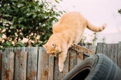 在篱芭的肥胖红色猫攀登在夏天晚上 库存照片