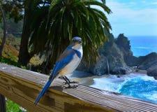 在篱芭的蓝色尖嘴鸟 免版税库存照片