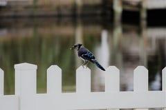 在篱芭的蓝色尖嘴鸟 免版税图库摄影