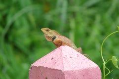 在篱芭的蜥蜴 免版税图库摄影