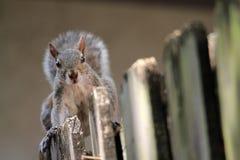 在篱芭的逗人喜爱的灰鼠 库存图片