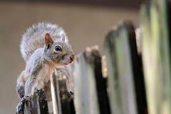 在篱芭的逗人喜爱的灰鼠 图库摄影