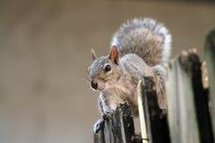 在篱芭的逗人喜爱的灰鼠 免版税库存图片