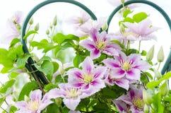在篱芭的铁线莲属花 特写镜头射击了与美好的bokeh 库存照片