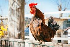在篱芭的雄鸡 免版税库存照片